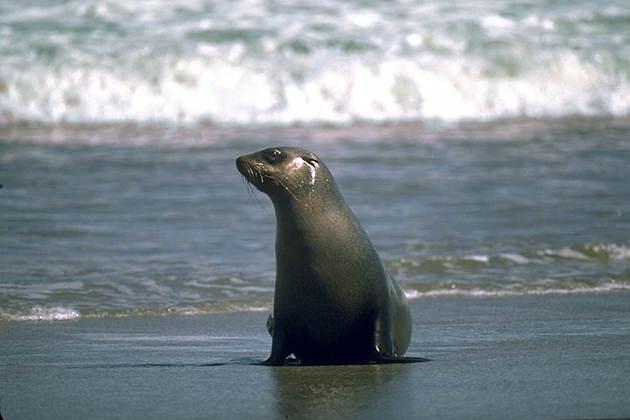 жизнь ушастых тюленей