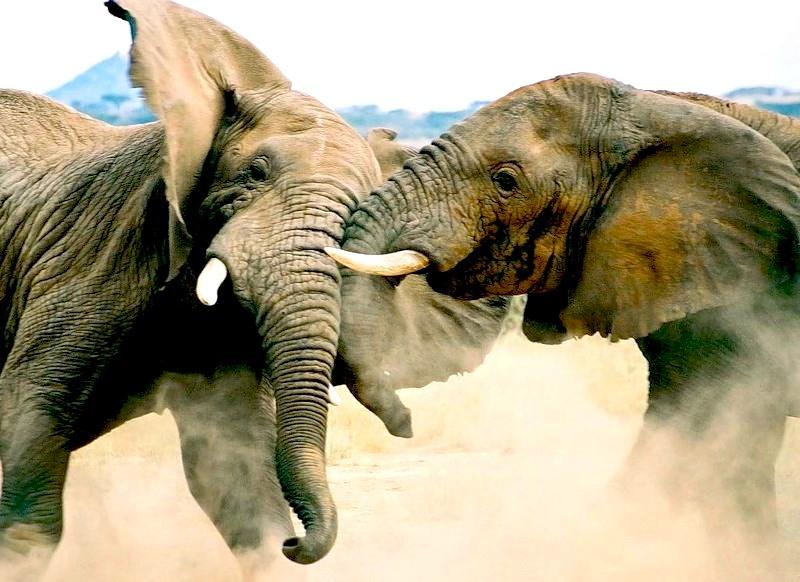 Слоны - самые крупные наземные животные