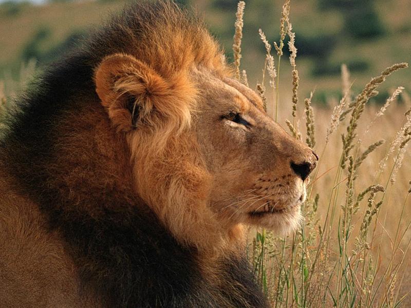 царственные звери львы