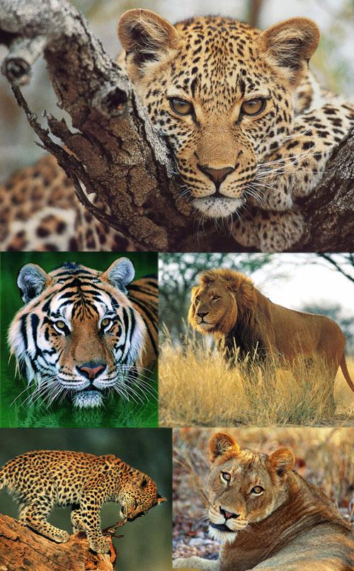 семейство кошачьи