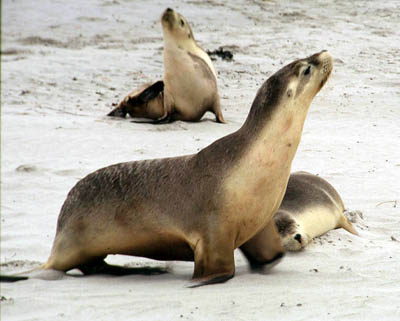 ушастые тюлени