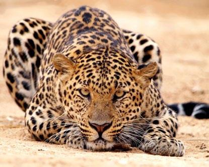 грациозная кошка леопард