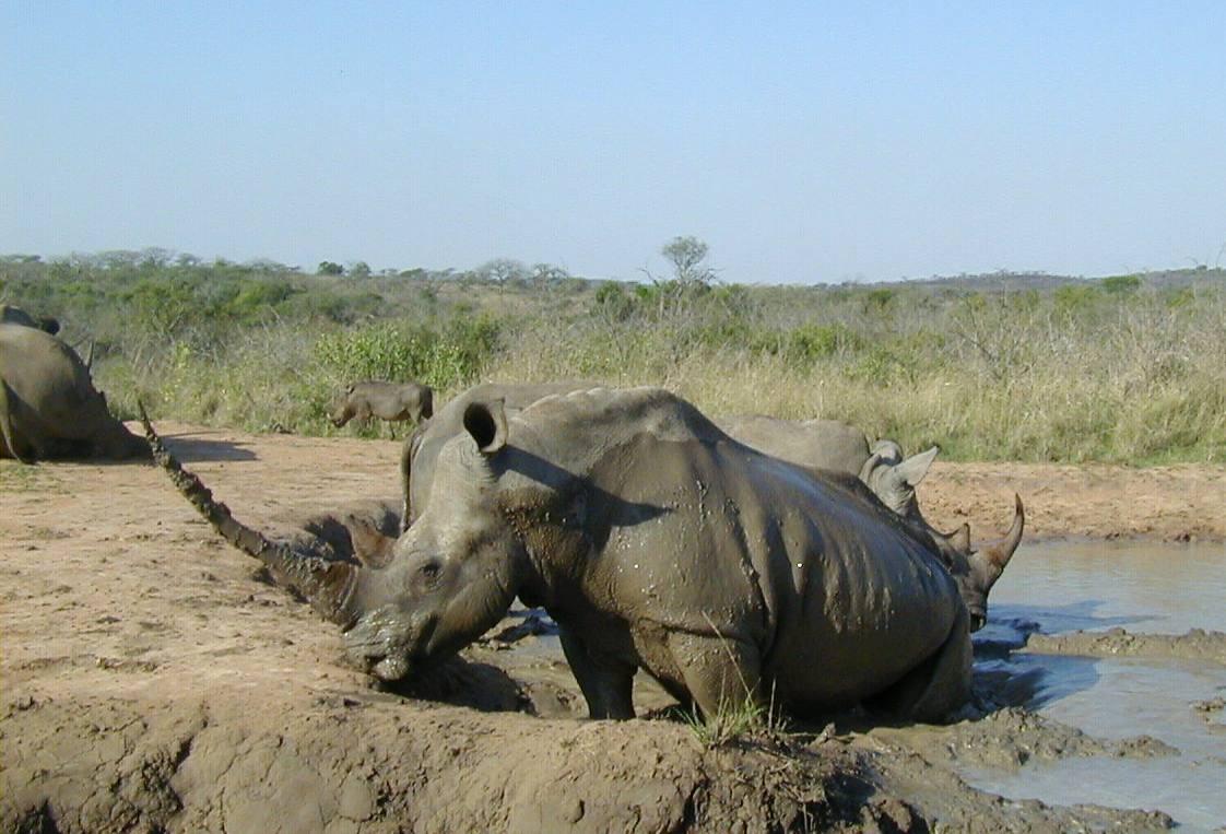 животные носороги
