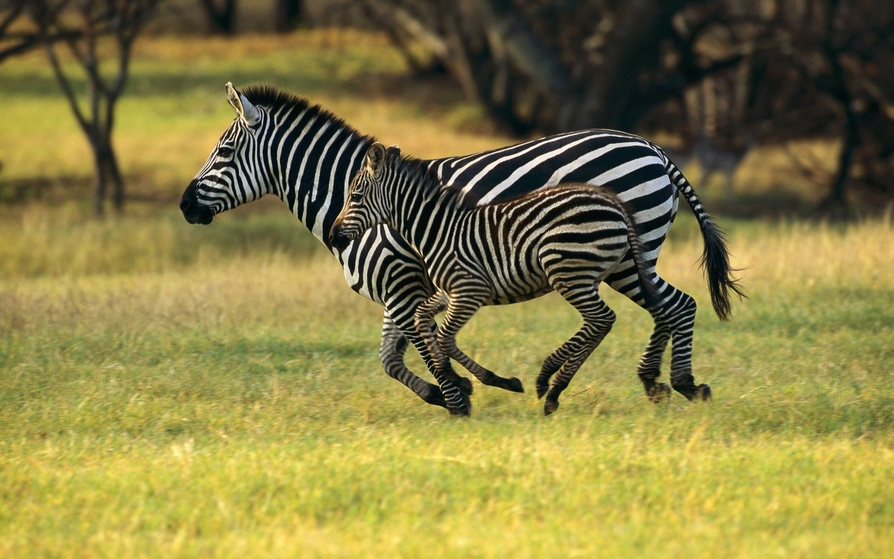 дикое животное зебра