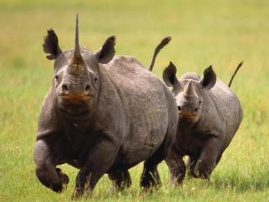 Миролюбивые животные носороги