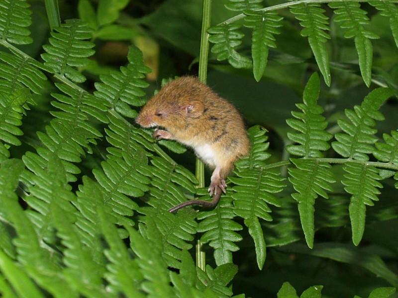 мишь-малютка