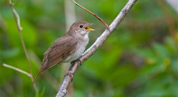 Пение северных птиц