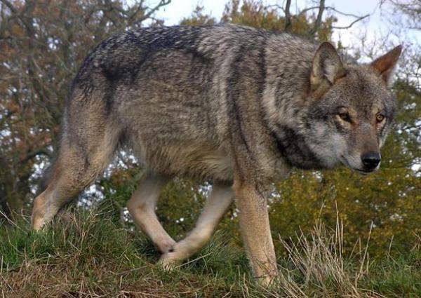 Обыкновенный волк