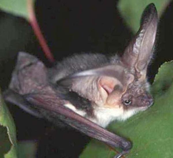 Щелемордые летучие мыши