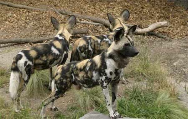 Гиеновые собаки
