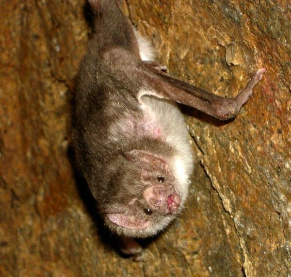 летучие мыши вампиры