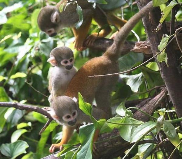 Представители семейства Цепкохвостые обезьяны