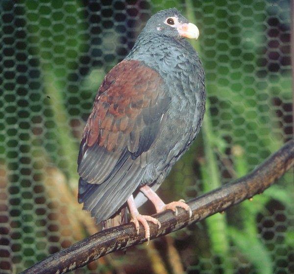 Зубчатоклювый голубь