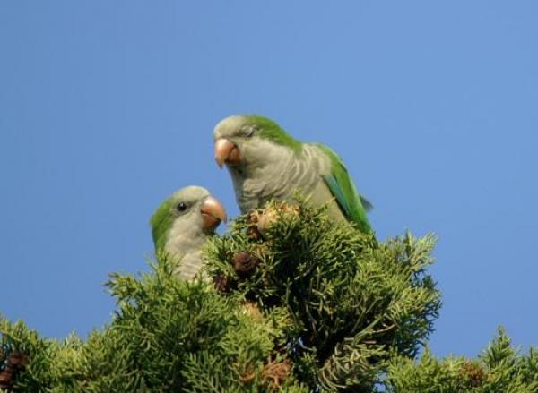 попугай-монах фото