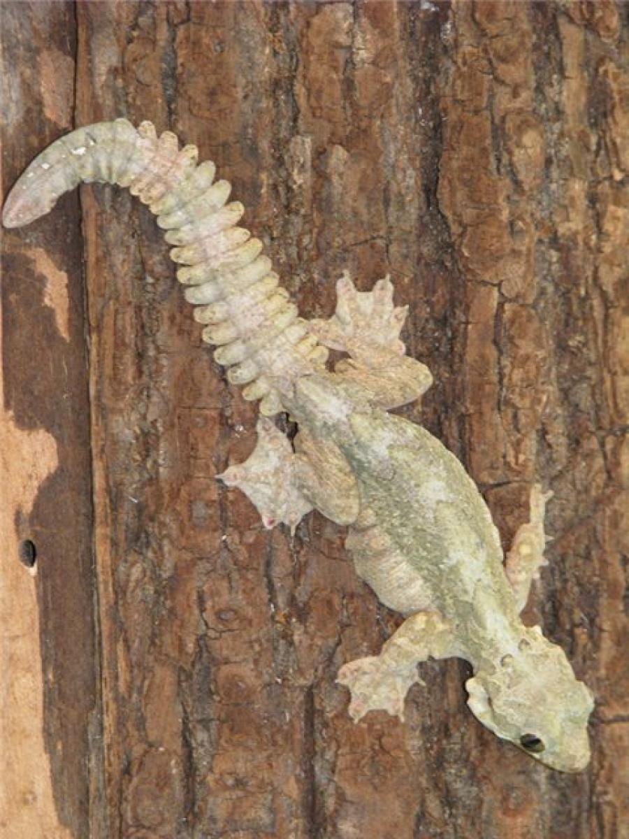 Индо-малайский лопастехвостый геккон