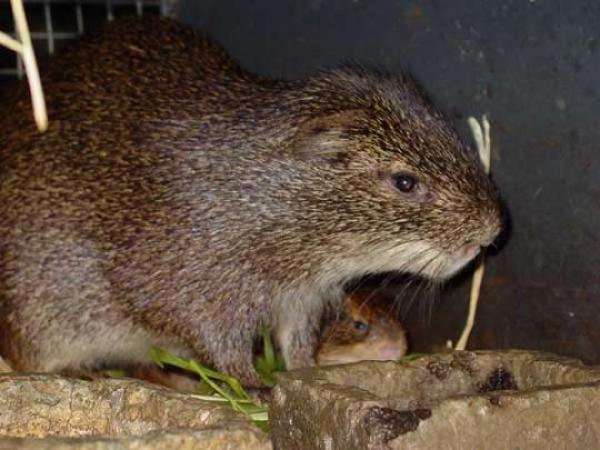 Большая тростниковая крыса