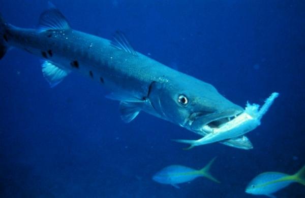 Рыбы отряда сельдеобразных
