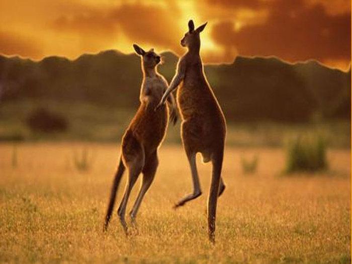 животные кенгуру