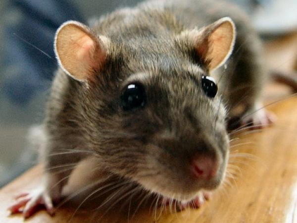 Длиннохвостая мешотчатая крыса