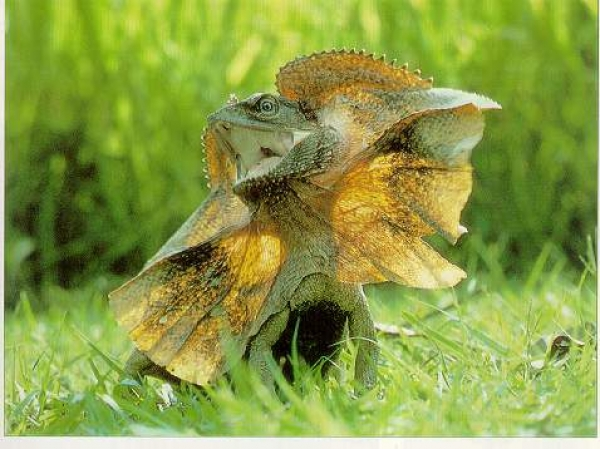 Бородатая ящерица