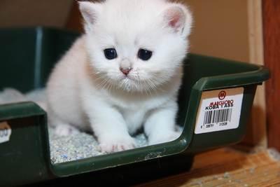 Как приучить котят к лотку?