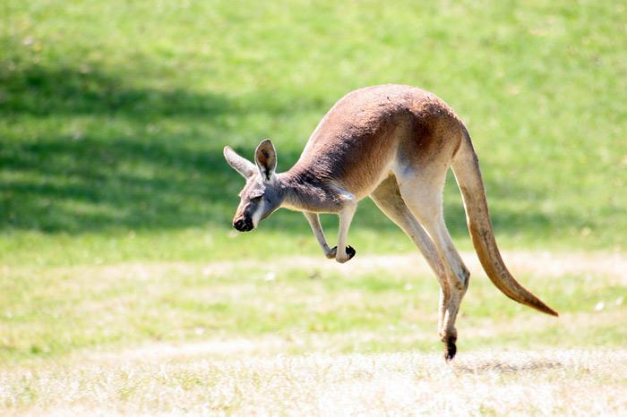 Животные Австралии кенгуру
