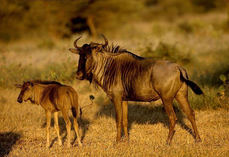 антилопы гну фото
