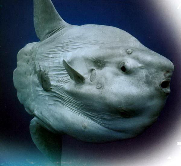 Луна-рыба картинка
