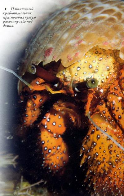 краб-отшельник фото