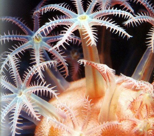 грибовидный мягкий коралл