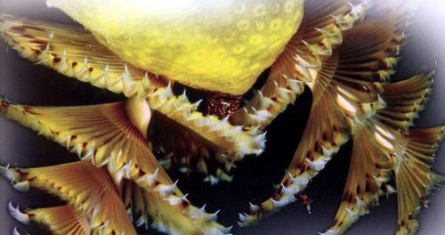Кольчатые черви спиробранхусы «новогодняя елка» - с ажурными щупальцами-перьями - проникают в желтый коралл.