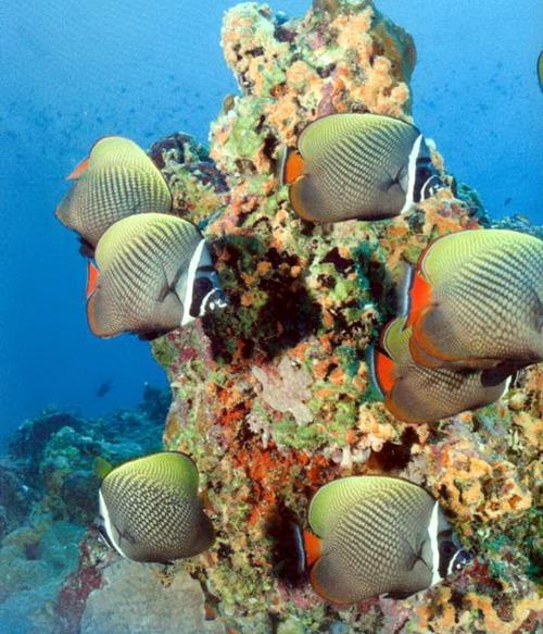Рыба-бабочка, живущая в коралловом рифе на Мальдивах.