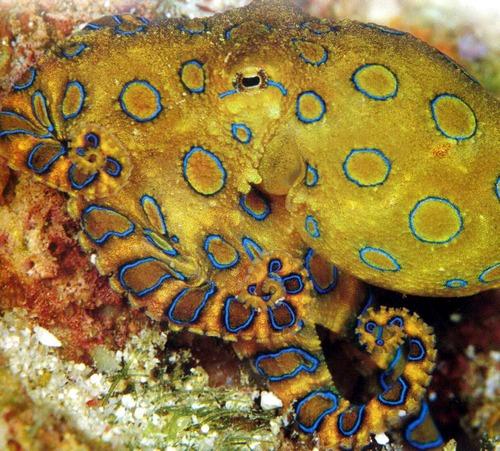 Обладатель практически идеальной маскировки большой синекольчатый осьминог - одно из самых ядовитых животных в мире.