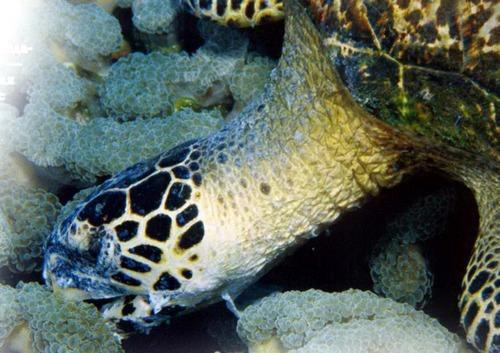 Черепаха бисса поедает коралл-органчик