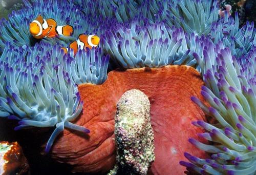 Эти чернохвостые рыбы-клоуны чувствуют себя в безопасности в окружении жалящих щупалец своей «хозяйки» актинии.