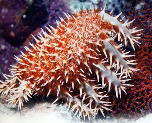 Морская звезда терновый венец поедает кораллы в море Кортеса.
