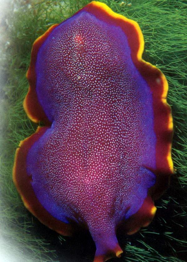 Яркий плоский червь на контрастном фоне кораллов.