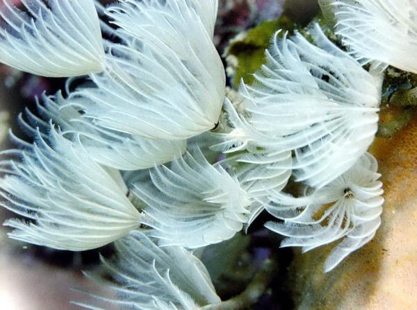 Перистый червь питается планктоном, который ловит своими похожими на перья жабрами.