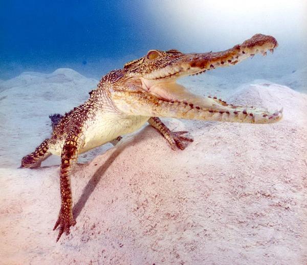 Крокодил у берегов Квинсленда (Австралия).