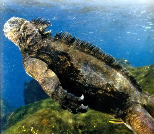 Галапагосская морская игуана