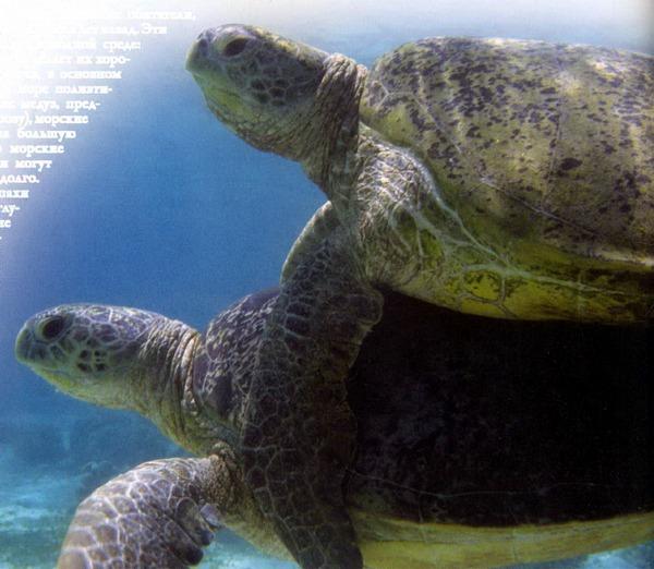 Пара зеленых морских черепах во время спаривания возле побережья Восточного Борнео.