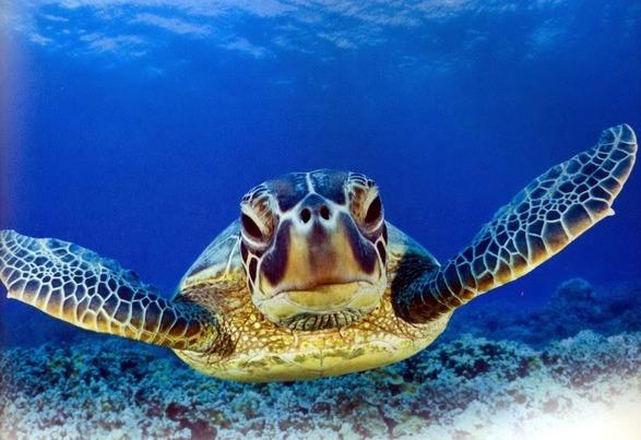 Зеленые морские черепахи в естественных условиях доживают до восьмидесяти лет.