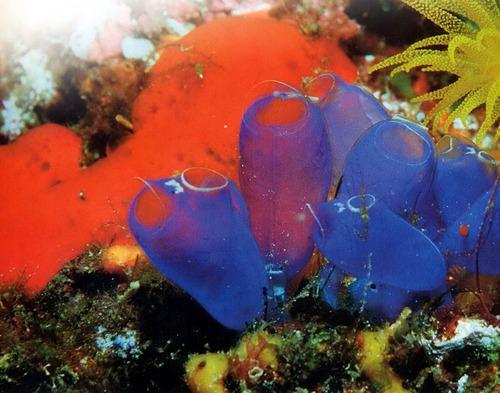 Морской ковер. Голубые асцидии и желтые пещерные кораллы.