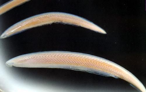 Зачастую ланцетников ошибочно описывают как наиболее примитивных современных рыб