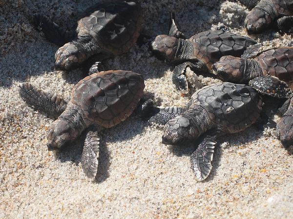 Головастая морская черепаха фото