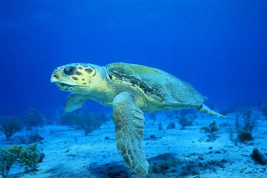Детеныш кожистой морской черепахи
