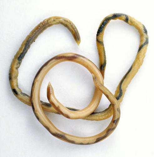 круглые черви фото