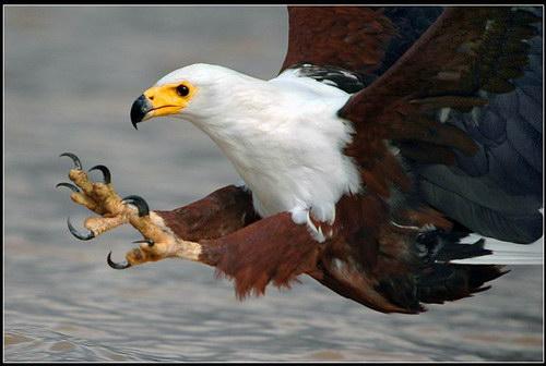 орел-крикун
