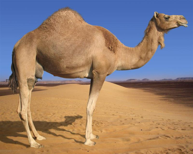 Строение верблюда