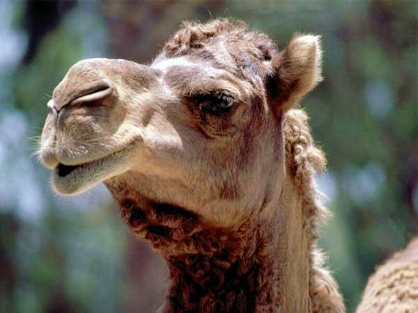 голос верблюда